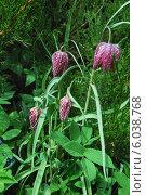 Купить «Рябчик шахматный, или фритиллярия (Fritillaria meleagris)», эксклюзивное фото № 6038768, снято 2 мая 2014 г. (c) Алёшина Оксана / Фотобанк Лори