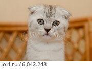 Купить «Вислоухий шотландский котенок», фото № 6042248, снято 13 января 2014 г. (c) Ксения Крылова / Фотобанк Лори