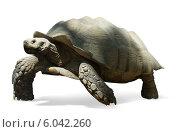 Африканская черепаха на белом фоне. Стоковое фото, фотограф Яков Филимонов / Фотобанк Лори