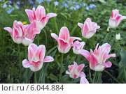 Тюльпаны в цвету. Стоковое фото, фотограф Артем Пикулин / Фотобанк Лори