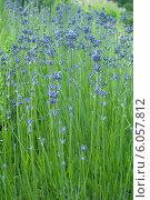 Купить «Иссоп лекарственный ( Hyssopus officinalis)», эксклюзивное фото № 6057812, снято 29 июня 2014 г. (c) Svet / Фотобанк Лори