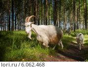 Купить «Козы в лесу летом», фото № 6062468, снято 12 июля 2012 г. (c) Наталия Ромашова / Фотобанк Лори