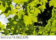 Купить «Фон из зеленых листьев клена», фото № 6062636, снято 8 июня 2014 г. (c) Юлия Бабкина / Фотобанк Лори