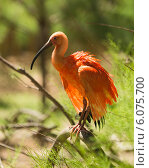 Купить «Scarlet Ibis», фото № 6075700, снято 14 мая 2014 г. (c) Яков Филимонов / Фотобанк Лори