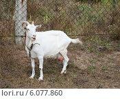 Купить «Белая коза на привязи», фото № 6077860, снято 24 августа 2011 г. (c) Наталья Двухимённая / Фотобанк Лори