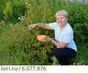 Купить «Женщина средних лет собирает крыжовник в саду», фото № 6077876, снято 2 июля 2014 г. (c) Ирина Борсученко / Фотобанк Лори