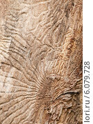 Купить «Ходы короеда на сухом стволе дерева без коры, макро, фон», фото № 6079728, снято 30 июня 2014 г. (c) Александр Курлович / Фотобанк Лори