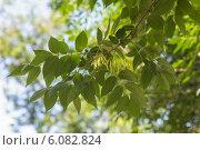 Купить «Ветка ясеня с зелёными листьями и семенами», фото № 6082824, снято 30 июня 2014 г. (c) Argument / Фотобанк Лори