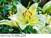 Купить «Светлые лилии растут в саду», эксклюзивное фото № 6086224, снято 3 июля 2014 г. (c) Игорь Низов / Фотобанк Лори