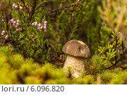 Купить «Подберёзовик обыкновенный», фото № 6096820, снято 26 августа 2012 г. (c) Скудова Елена / Фотобанк Лори