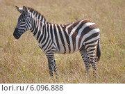 Купить «Саванная зебра», фото № 6096888, снято 25 августа 2012 г. (c) Ерошкина Ольга / Фотобанк Лори