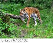 Купить «Амурский тигр в лесу», фото № 6100132, снято 15 июня 2014 г. (c) Эдуард Кислинский / Фотобанк Лори