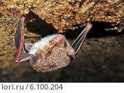 Купить «Летучая мышь в естественной среде обитания», фото № 6100204, снято 1 марта 2008 г. (c) Эдуард Кислинский / Фотобанк Лори