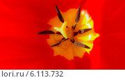 Тычинка красного тюльпана. Стоковое фото, фотограф Александр Коноваленко / Фотобанк Лори