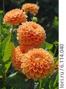 Купить «Оранжевый цветок георгина в саду (лат. Dаhlia)», эксклюзивное фото № 6114040, снято 18 января 2019 г. (c) Svet / Фотобанк Лори