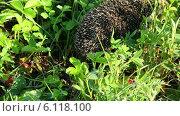 Купить «Ежик в траве», видеоролик № 6118100, снято 3 июля 2014 г. (c) Михаил Коханчиков / Фотобанк Лори
