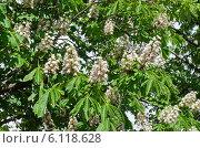Купить «Цветущий конский каштан обыкновенный (лат. Aesculus hippocastanum)», эксклюзивное фото № 6118628, снято 20 мая 2014 г. (c) Елена Коромыслова / Фотобанк Лори