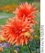 Купить «Оранжевый яркий георгин (лат. Dаhlia)», эксклюзивное фото № 6123072, снято 23 июля 2019 г. (c) Svet / Фотобанк Лори