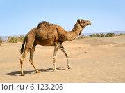 Купить «Верблюд в пустыне Сахара», фото № 6123208, снято 10 марта 2014 г. (c) Наталия Евмененко / Фотобанк Лори