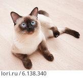 Тайский кот с голубыми глазами лежит на полу. Стоковое фото, фотограф Юлия Костюшина / Фотобанк Лори