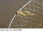 Купить «Молодая стрекоза, сидящая на металлическом рыболовном садке. Отрастание крыльев», фото № 6144596, снято 15 июля 2014 г. (c) Андрей Забродин / Фотобанк Лори