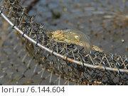 Купить «Молодая стрекоза, сидящая на металлическом рыболовном садке. Отрастание крыльев», фото № 6144604, снято 15 июля 2014 г. (c) Андрей Забродин / Фотобанк Лори