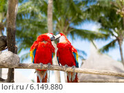 Купить «couple of red parrots sitting on perch», фото № 6149880, снято 6 февраля 2014 г. (c) Syda Productions / Фотобанк Лори