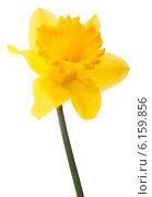 Купить «Daffodil flower or narcissus isolated on white background cutout», фото № 6159856, снято 9 мая 2013 г. (c) Natalja Stotika / Фотобанк Лори