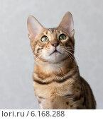 Портрет кота бенгальской породы на сером фоне. Стоковое фото, фотограф Viacheslav Martynov / Фотобанк Лори