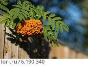 Рябина обыкновенная (лат. Sorbus aucuparia ) над деревянным забором. Стоковое фото, фотограф Евгений Андреев / Фотобанк Лори