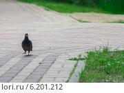 Голубь на прогулке в летнем парке. Стоковое фото, фотограф Олег Батурин / Фотобанк Лори