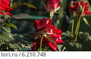 Алые розы. Стоковое фото, фотограф Sergey Kiselev / Фотобанк Лори