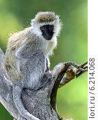 Купить «Зелёная мартышка в естественной среде обитания. Кения. Африка», фото № 6214068, снято 1 января 2012 г. (c) Эдуард Кислинский / Фотобанк Лори