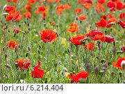Маковое поле. Стоковое фото, фотограф Гуляева Юлия / Фотобанк Лори