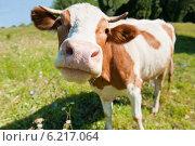 Купить «Любопытная корова на лугу в солнечный летний день (фокус на носу)», фото № 6217064, снято 27 июля 2014 г. (c) Екатерина Овсянникова / Фотобанк Лори