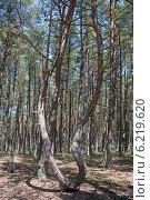 """Извивающиеся сосны в """"Танцующем лесу"""". Куршская коса, эксклюзивное фото № 6219620, снято 30 июля 2014 г. (c) Svet / Фотобанк Лори"""