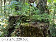 Купить «Маленькиие елочки растут на старом пне в летнем лесу», фото № 6220636, снято 26 июля 2014 г. (c) Екатерина Овсянникова / Фотобанк Лори