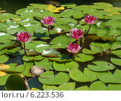Цветы Лотоса (Никитский ботанический сад, Крым) Стоковое фото, фотограф Анатолий Киренков / Фотобанк Лори