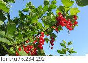 Красная смородина. Стоковое фото, фотограф Игорь Гордеев / Фотобанк Лори