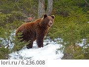 Портрет бурого медведя в лесу. Стоковое фото, фотограф Эдуард Кислинский / Фотобанк Лори