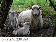 Berlin, Germany, sheep and lambs of the breed Skudde. Стоковое фото, агентство Caro Photoagency / Фотобанк Лори