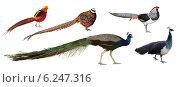 Peafowl and pheasant family birds. Isolated over white. Стоковое фото, фотограф Яков Филимонов / Фотобанк Лори