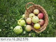 Купить «Упала на траву корзинка с яблоками», фото № 6262576, снято 9 августа 2014 г. (c) Александр Романов / Фотобанк Лори