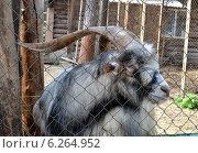 Купить «Домашний козёл в вольере», фото № 6264952, снято 3 августа 2014 г. (c) александр афанасьев / Фотобанк Лори