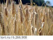 Купить «Пшеница в поле крупным планом», фото № 6266908, снято 17 июля 2014 г. (c) Ольга Логачева / Фотобанк Лори