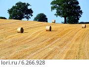 Поле с пшеничными катушками. Стоковое фото, фотограф Ольга Логачева / Фотобанк Лори