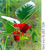 Купить «Костяника каменистая (Rubus saxatilis) — многолетнее растение-медонос; вид рода Рубус (Малина) семейства Розовые», эксклюзивное фото № 6267124, снято 8 августа 2014 г. (c) Евгений Мухортов / Фотобанк Лори