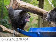 """Бинтуронг """"кот - медведь"""" оскалился, склока. Стоковое фото, фотограф Анна Королева / Фотобанк Лори"""