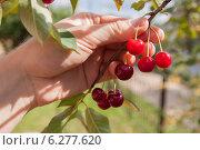 Сбор урожая вишни. Стоковое фото, фотограф Дмитрий Емушинцев / Фотобанк Лори