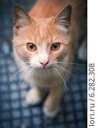 Рыжая дворовая кошка. Стоковое фото, фотограф Павловский Андрей / Фотобанк Лори